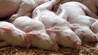 Последен ден за стопаните от село Дяково да заколят доброволно прасетата си