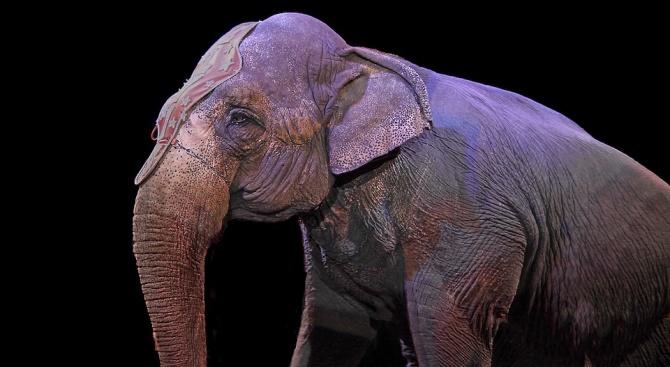 Датско министерство закупи четири циркови слона за да осигури пенсионирането им