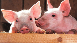 До днес кметовете трябва да изготвят списък с хората, доброволно умъртвили прасетата си