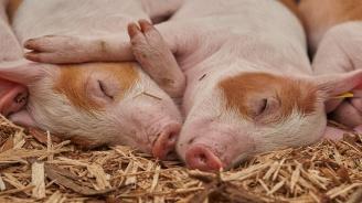 Над 2500 са доброволно закланите домашни прасета в област Хасково