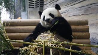 Показаха ултразвуково изображение на бебето на пандата Мън Мън
