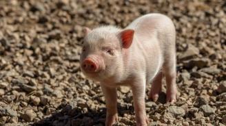 В Разлог разясняват болестта Африканска чума по свинете