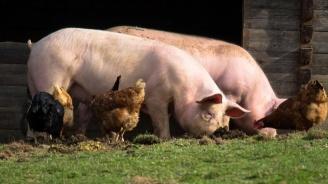 В Перник ще проверяват за злоупотреби с помощите заради чумата по прасетата