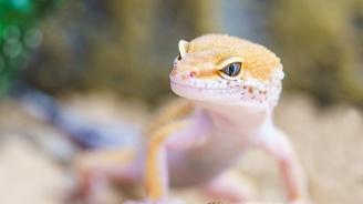 Учени създадоха гущери албиноси с помощта на технология за генно редактиране