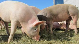 В област Хасково 1542 стопани са изклали превантивно домашните си прасета