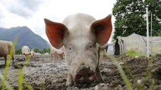 Фермер примами избягалите си прасета с пътека от хлебчета