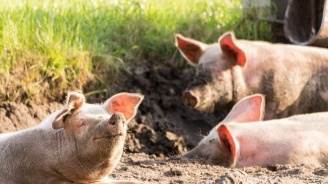 От утре започват да изплащат обезщетенията на стопаните, които са заклали доброволно прасетата си заради АЧС