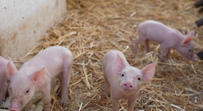 Около 20 собственици на домашни прасета от тунджанското село Безмер