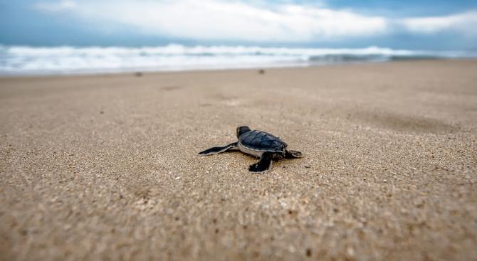 Десетки морски костенурки от застрашения вид маслинова ридлея се излюпиха