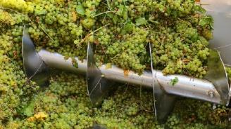 Започна гроздоберът на Совиньон блан в Пловдивско