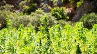 Искат задържане под стража за мъжете, отглеждали марихуана в землището на с. Зидарово