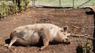 Обезщетенията за унищожените домашни свине вече са изплатени в община Минерални бани