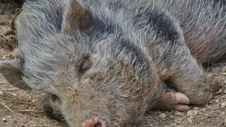 Нов случай на заразено с африканска чума диво прасе в Смолянска област