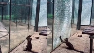 Маймуна в зоопарк заостри камък и счупи стъклото на клетката си