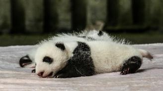 Новородените близначета панди в берлински зоопарк се чувстват добре и наддават телесно тегло