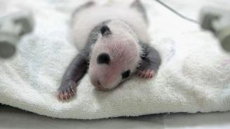 Новородените близначета панди в Берлин са здрави и наддават телесно тегло