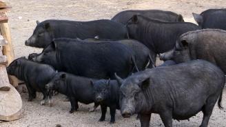 Над 7400 са заявленията за обезщетения за умъртвените прасета