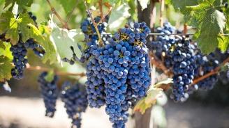 В Сунгурларе започва гроздоберът