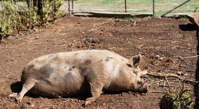 Общо 93 160 прасета са умъртвени хуманно в Русенско заради
