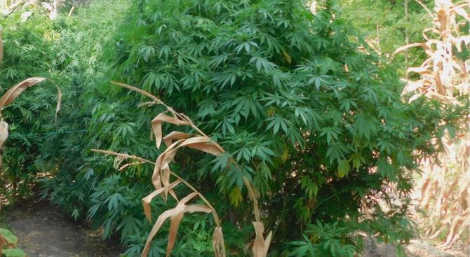 Тунджански полицаи откриха канабисови растения, отглеждани в частен имот, съобщават