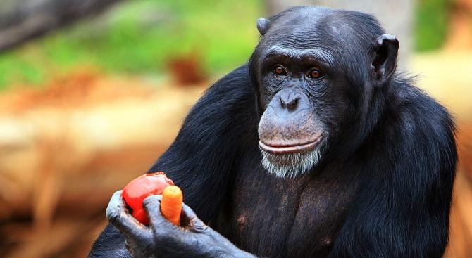 Шимпанзе е вдигнало на крак полицейските и ветеринарни власти в