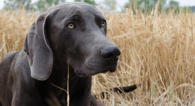 Кучето-ловец на глигани Джесика осинови дивото прасенце Леонардо Трюфела и