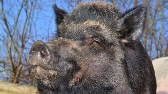 Два нови случая на африканска чума по свинете в Тервелско
