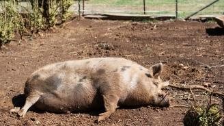 Над 90 000 прасета са умъртвени хуманно в Русенско заради чумата