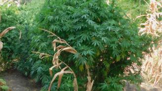 Тунджански полицаи откриха канабисови растения, отглеждани в частен имот