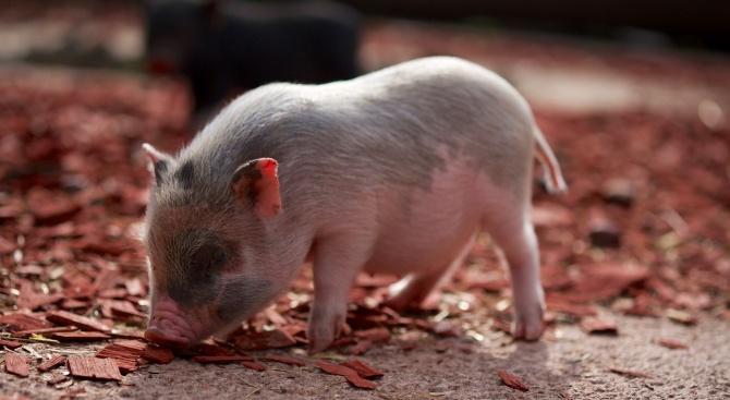 Заради потвърден първи случай на заразени с АЧС диви прасета