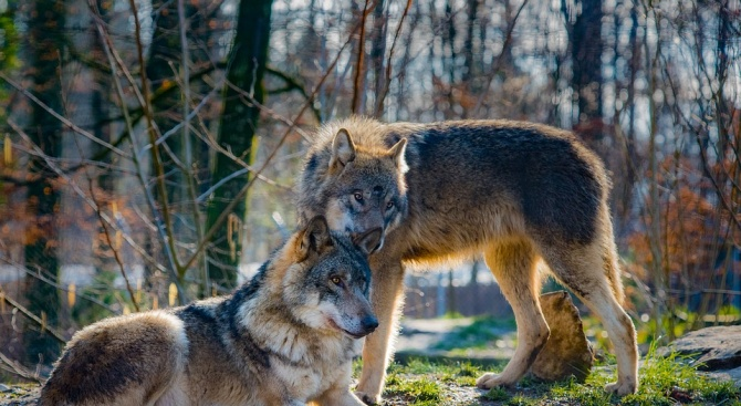Увеличената популация от вълци в Свиленградско пали напрежение сред животновъдите,