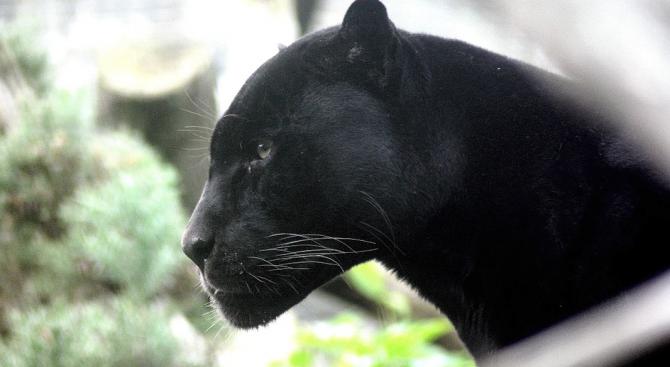 Смут във френския град Лил. Причината - черна пантера, която
