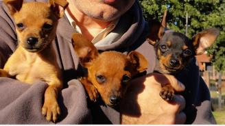 Хванаха 52-годишен крадец на кученца