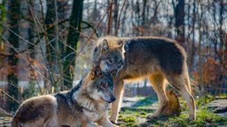 Вълци нападнаха стадата в Свиленградско