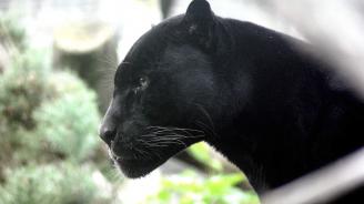 Пантера стресна жители на френския град Лил