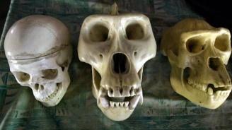 Изчезването на неандерталците може да се дължи на чести ушни инфекции