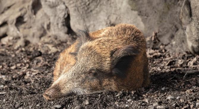 Заради първия случай на африканска чума по свинете в Пернишка