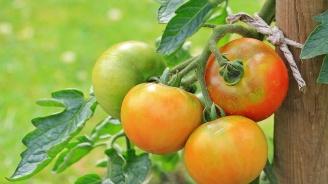 Нагли престъпници откраднаха чушките и доматите на пенсионерка