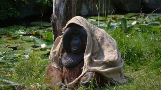Орангутанът Сандра заминава от Аржентина за САЩ, за да се лекува от депресия