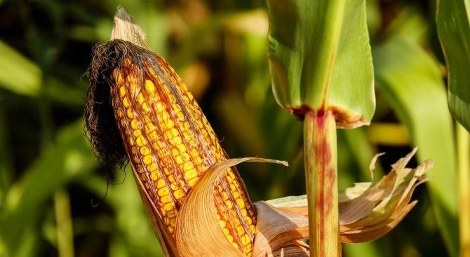 Зърнопроизводителите в Добричко са прибрали близо 80 на сто от царевичната реколта