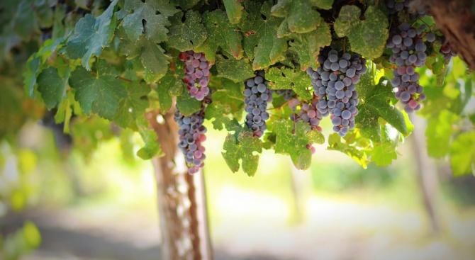 В Търговищко прибират реколтата от десертни и винени лозя