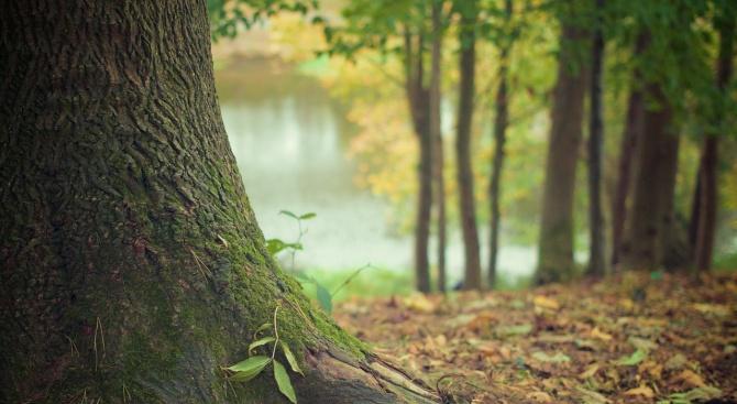 Стари и опасни 25-метрови дървета от горната страна на туристическата