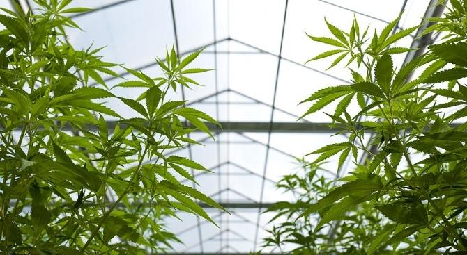 Полицията е задържала трима мъже, отглеждали 300 растения канабис в