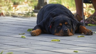 В Австралия ще глобяват стопани, които не си извеждат кучето на разходка