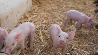 Потвърдиха случай на Африканска чума по свинете до Сотиря