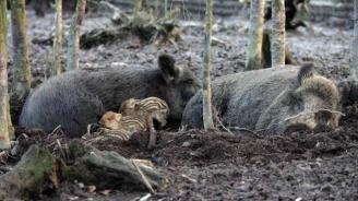 От 5 октомври стартира ловът на дива свиня