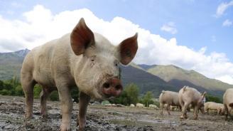 БАБХ с проверки около 20-километровите зони на индустриалните свинекомплекси в Плевенско
