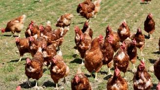 Уволниха служител на БАБХ, избивал кокошки не по правилата