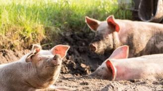 Във Винарово евтаназираха прасета, укрити от стопанина си