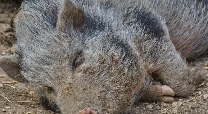 Сигнал за намерени трупове на диви свине е подаден снощи